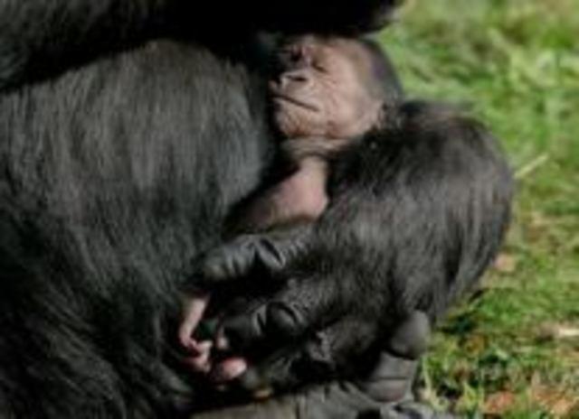 5 gorillababy's geboren