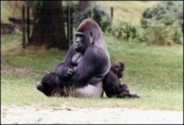 Gorilla Bongo overlijdt plotseling