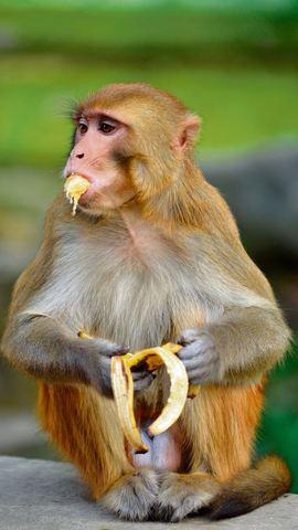 Apen moeten op dieet