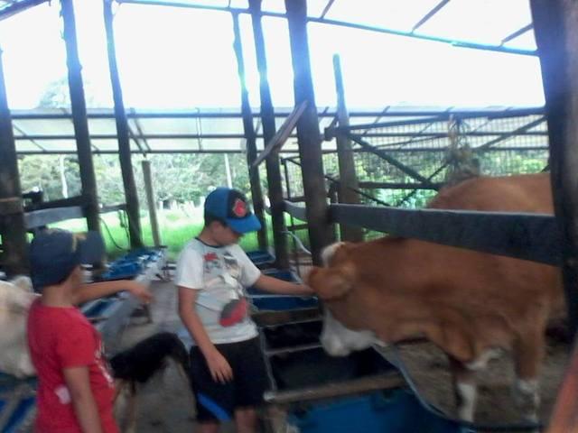 Montando Vacas
