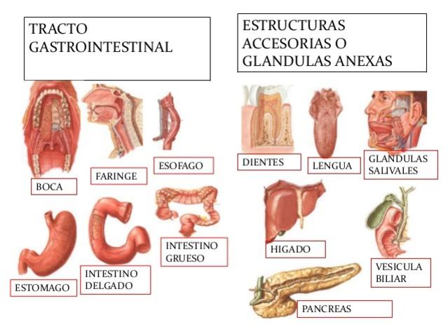 Glándulas del S. digestivo