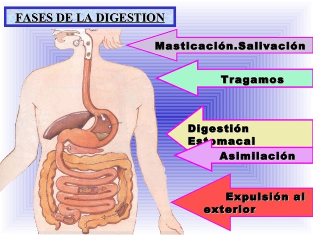 Fases de la digestión