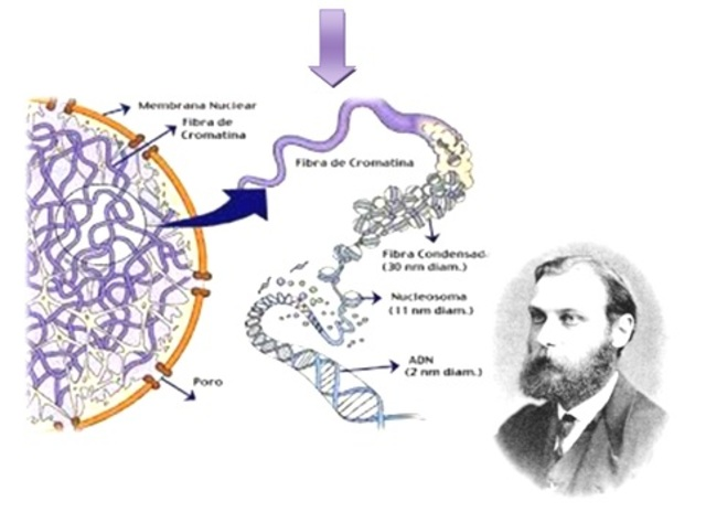 Algo llamado cromatina