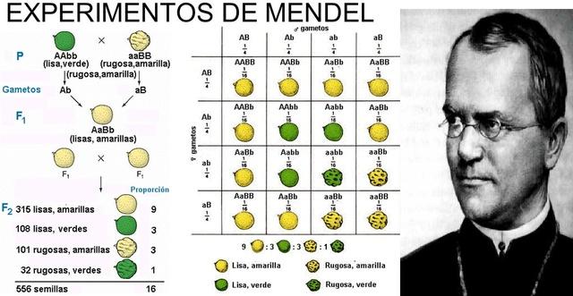 """Gregor Mendel ( Padre de la genética) """"Experimentos sobre hibridación de plantas""""."""