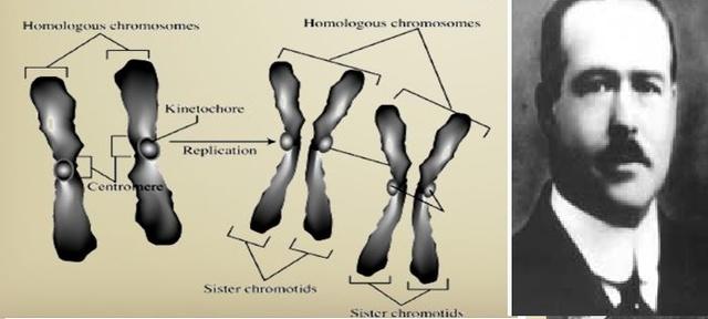 Walter Sutton Cromosomas y herencia.