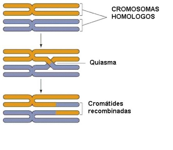 Entrecruzamiento cromosómico