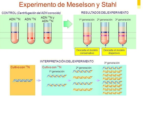 El experimento Meselson-Stahl