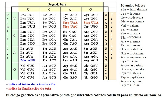El código genético se ordena en tripletes o codones