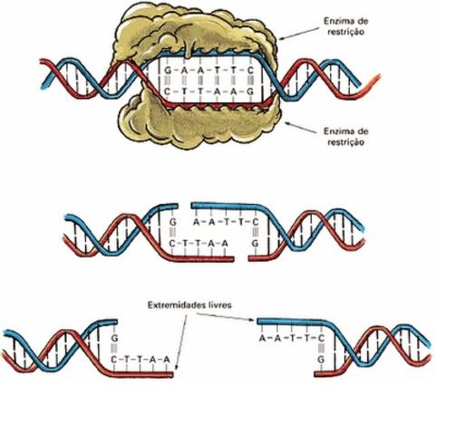 Se descubren las enzimas de restricción