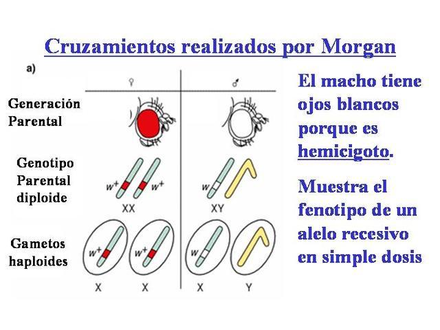 Genes localizados en los cromosomas. (Teoría cromosomica de la herencia) Morgan, Sturtevant, Muller, Bridges