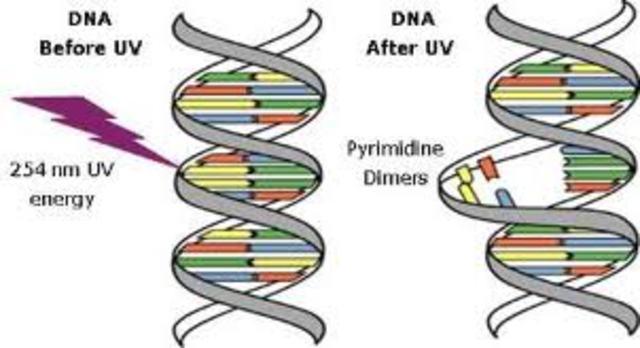 Mutaciones inducidas por rayos X ( H. J. Muller)