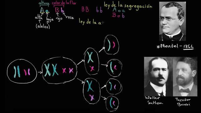 Teoría cromosómica de Sutton y Boveri.