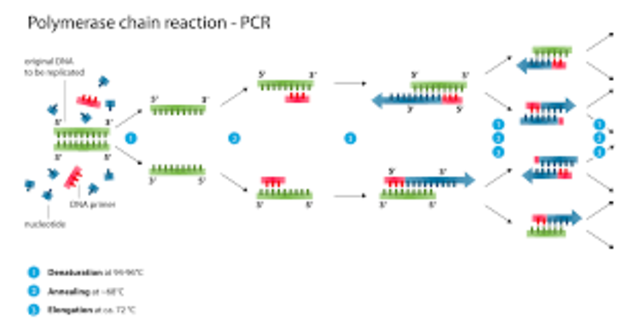Desarrollo del PCR