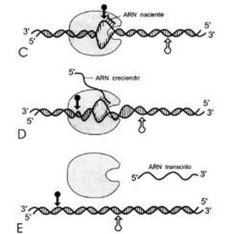 Secuencia completa de ARN