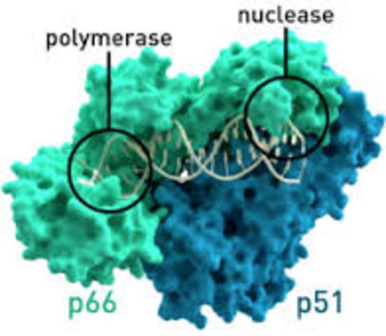 Identificación de transcriptasa inversa de los virus tumorales de RNA