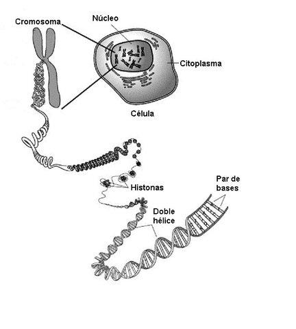 Demostración de la presencia de Intrones en genes eucarioticos