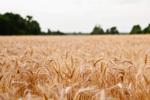 Cereal Grain 10,000 BCE