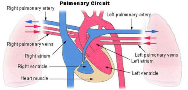 Sistema circulatorio pulmonar