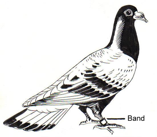 Carrioe pigeon