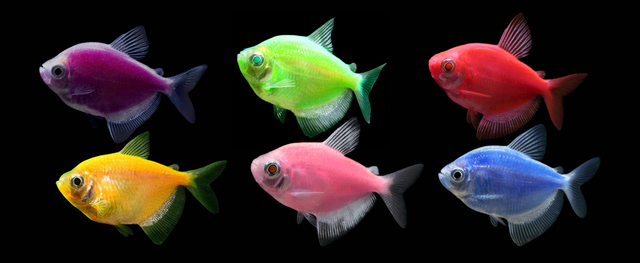 SE VENDE COMO MASCOTA EL GloFish