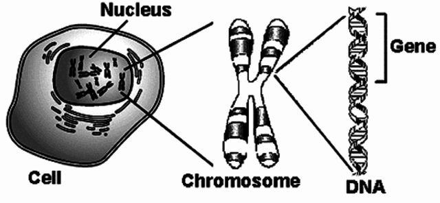 Genes are on chromosomes