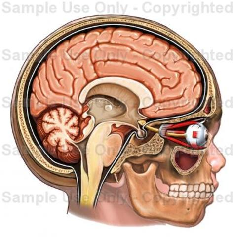 Brain 95% Formed