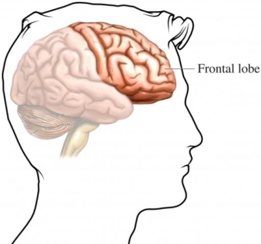 Frontal Lobe fully developed