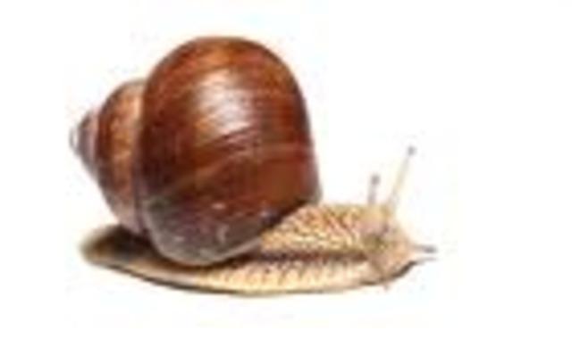 Garden snail  0.03