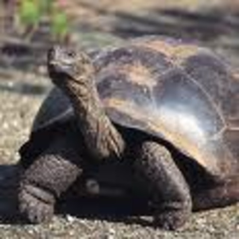 Giant tortoise  0.17