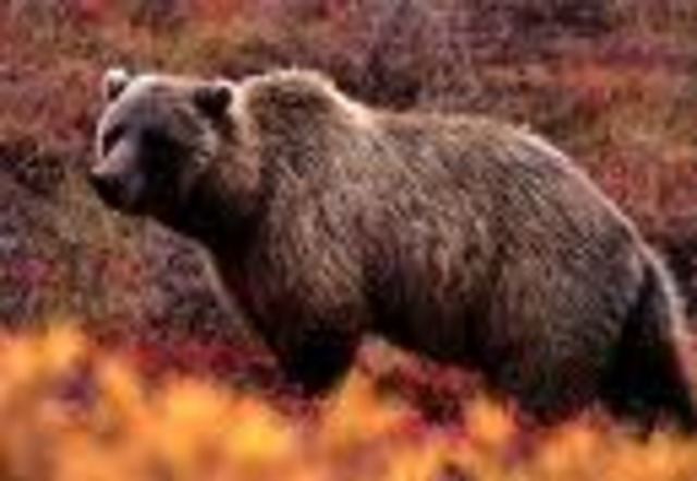 Grizzly bear  30