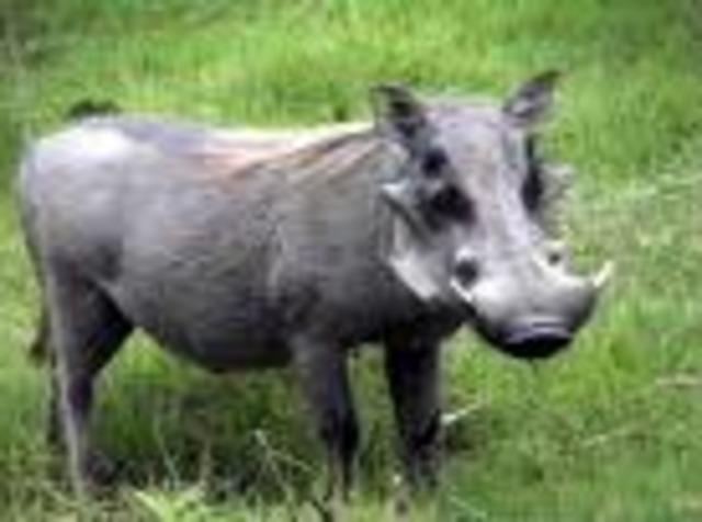 Wart hog   30