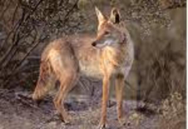 Coyote   43