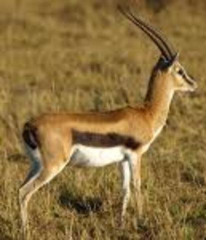 Thompson's gazelle  50