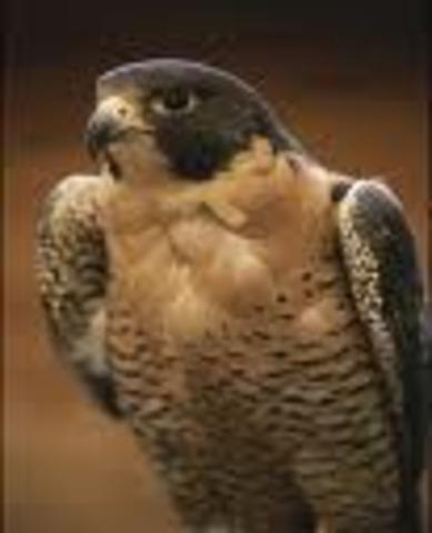 Peregrine falcon  217