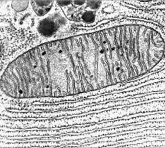El mitocondri