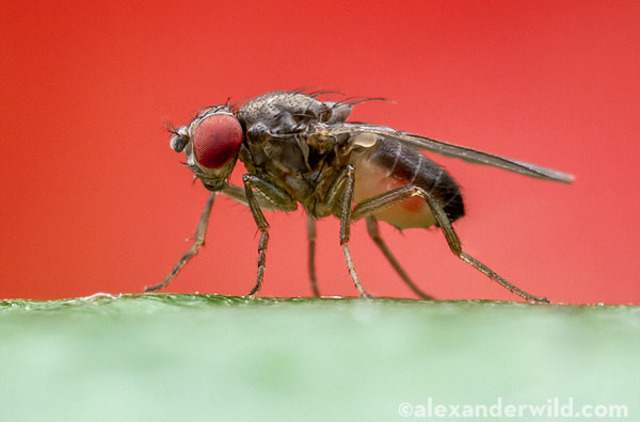 """""""Reproductive isolation as a consequence of adaptive divergence in Drosophila pseudoobscrura"""" is published."""