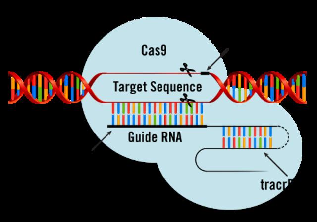 CRISPr/CAS 9 is identified and described