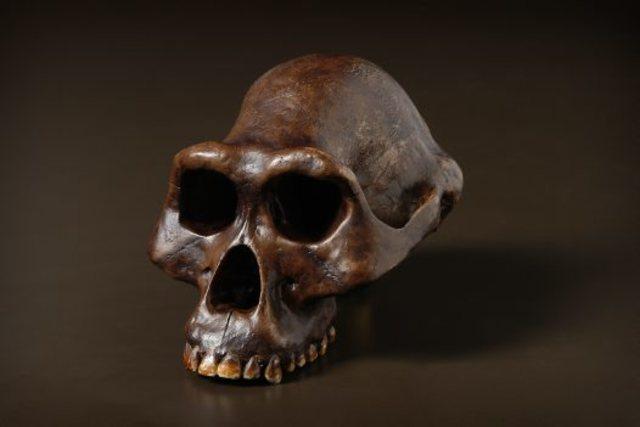 """""""Lucy"""" (Australopithecus Afarensis)"""