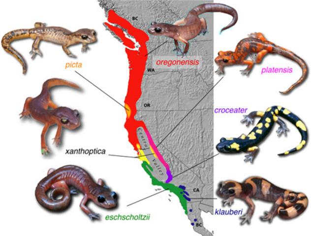 Ensatina Ring Species