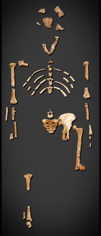 """1978-  Australopithecus afarensis nicknamed """"Lucy"""" fossil discovered"""