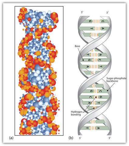1953-  Watson and Crick propose the double helix model of DNA structure