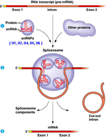 May 13th, 2014--  Spliceosomes were discovered and described