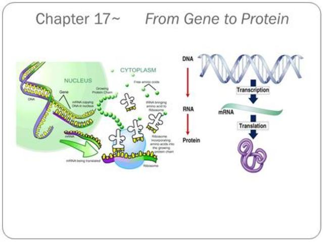 1941-- Beadle and Tatum publish the 1 gene-1 enzyme hypothesis