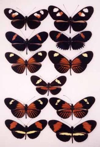 1942-  Ernst Mayr develops the Biological Species Concept