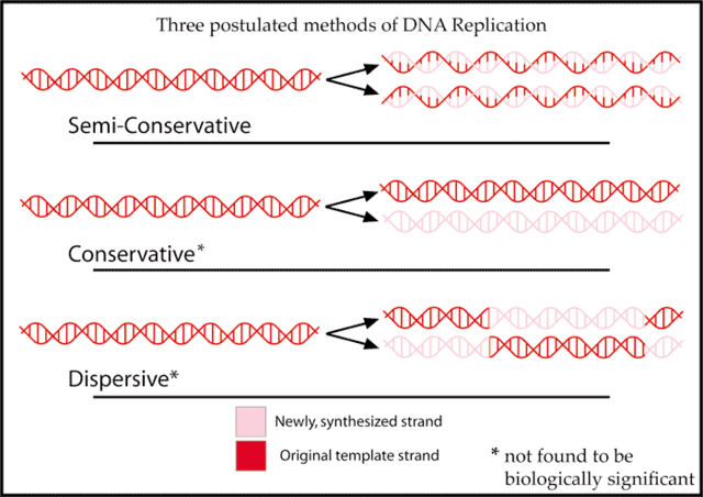 Meselson and Stahl work with DNA replication