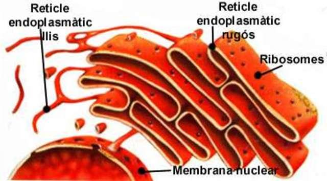 Descobriment del reticle endoplasmàtic