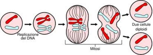 Mitosi