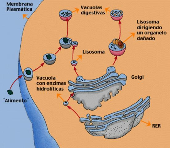 Descobriment del Lisosomes