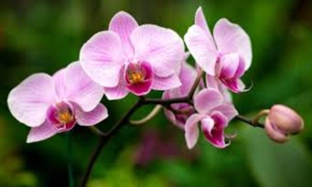 La fecundación de las orquídeas