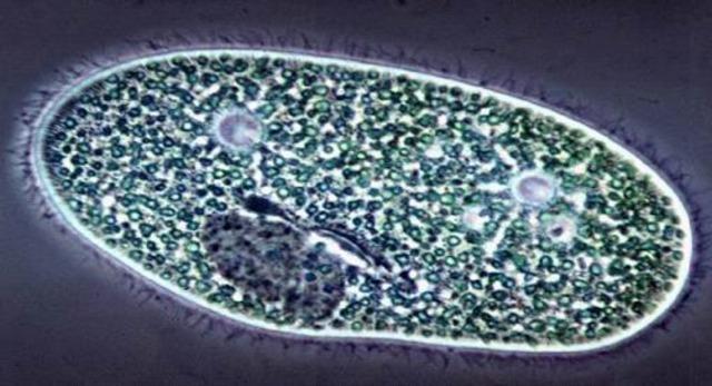 Observació dels protozous